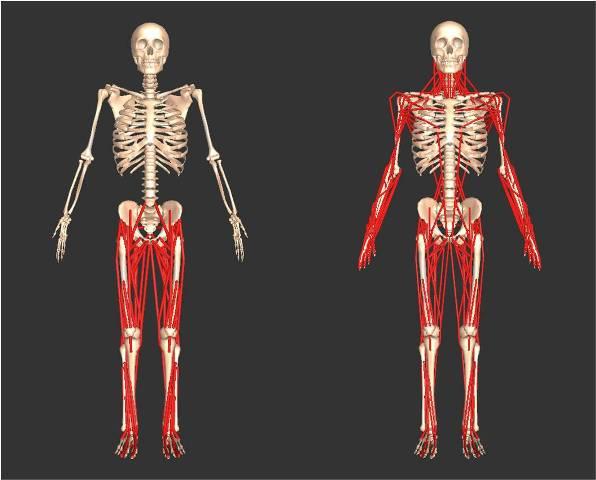 SIMMの筋骨格モデル